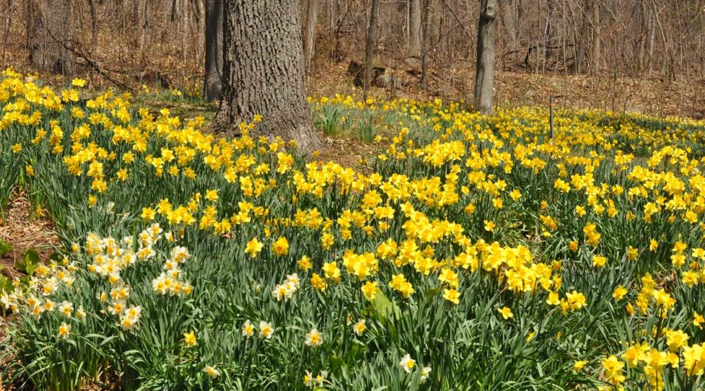 Daffodils at Hubbard Park in Meriden, Connecticut