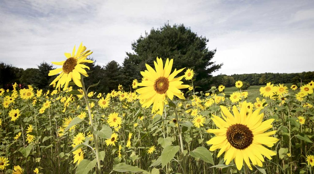 field of sunflowers near Guilderland, New York