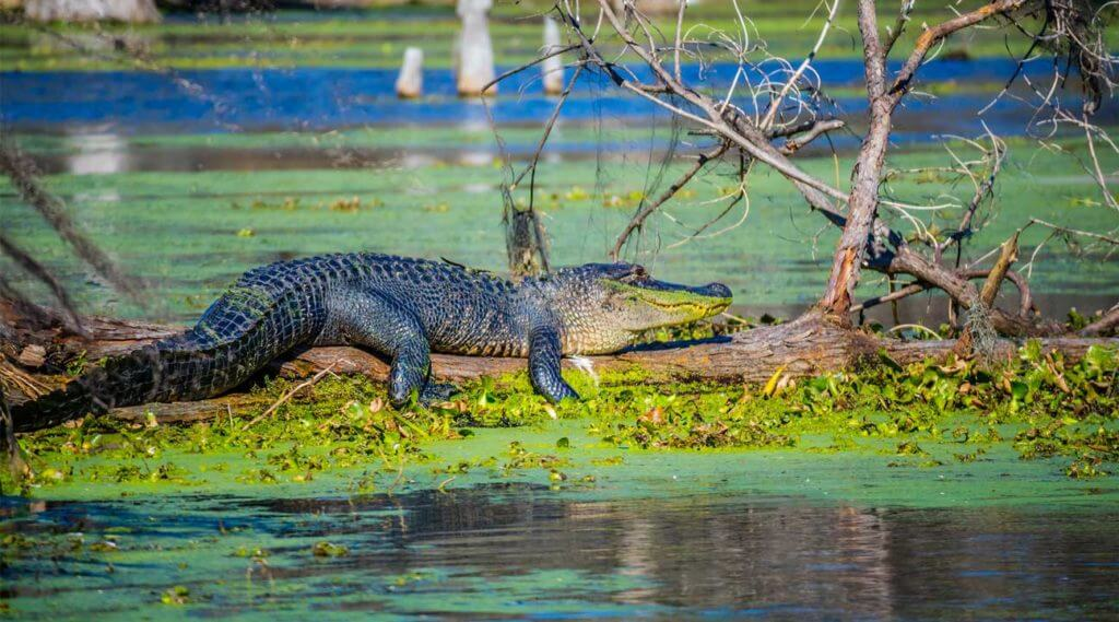 alligator or crocodile in on a. log in a swamp in Louisiana