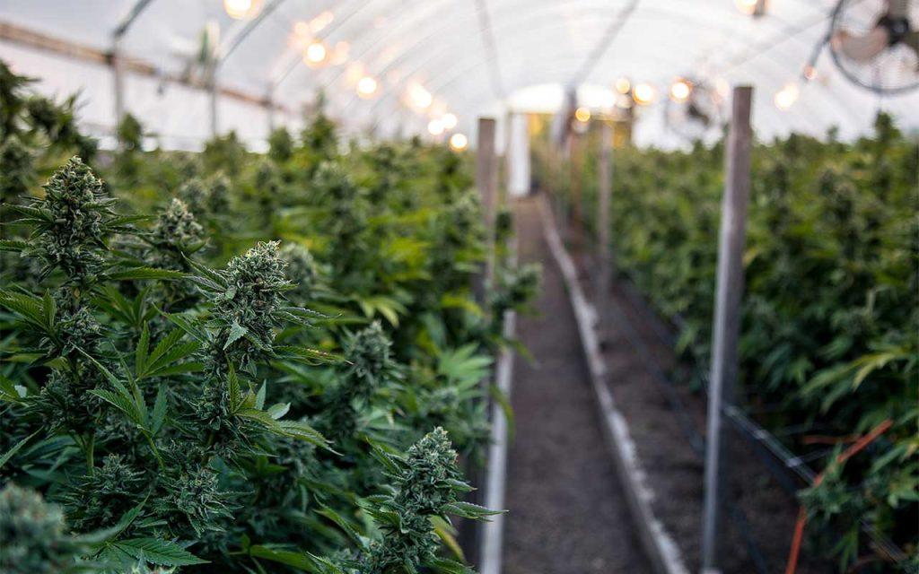 Types Of Marijuana Strains   Sativa, Indica, Ruderalis, & Hybrid Strains
